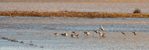 A Flock Of Common Redshanks Stock Images