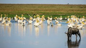 A Flock Of Great White Pelicans Pelecanus Onocrotalus With A Blue Wildbeest Royalty Free Stock Photos