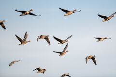 Free A Flock Of Migrating Geese Flying In Formation. Royalty Free Stock Photography - 170004897