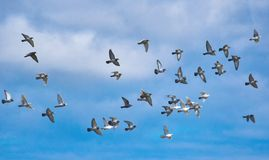 Free A Flock Of Pigeons In Flight Against A Blue Sky Stock Photo - 143641520
