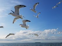 Free A Flock Of Seagulls In Flight Stock Image - 159688391