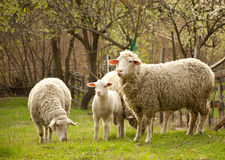 Free A Flock Of Sheep At Pasture Royalty Free Stock Images - 25562499