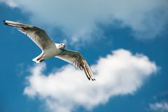 Free A Flying Sea Gull In The Blue Sky With White Clouds Royalty Free Stock Photos - 135900568