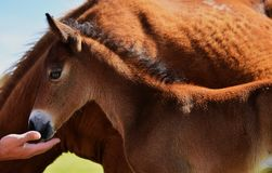 Free A Foal Royalty Free Stock Photography - 101806307