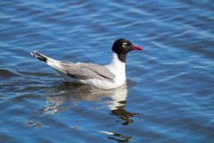 Free A Franklin`s Gull With Its Reflection In Water Royalty Free Stock Photos - 135178858