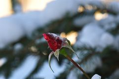 Free A Frosty Rose Bud Royalty Free Stock Photo - 105660855