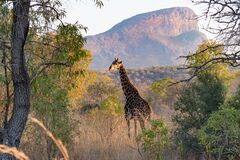Free A Giraffe Crosses In Front Of Hanglip Mountain Royalty Free Stock Photography - 217937537