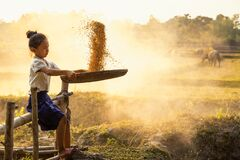 Free A Girl Cleaning The Paddy Before Milling. An Asian Girl Helps His Mother To Work After Returning From School. Grain Separation. Royalty Free Stock Images - 211260819