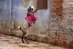 Free A Goat In A Pink Coat During Winter Time In Varanasi, India Stock Image - 171041951
