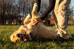 Free A Golden Retriever Dog Playing With His Owner At The Park Royalty Free Stock Image - 160603266