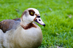 Free A Goose Stock Images - 6028694