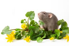 Free A Gray Rat Is Next To Delicate Wildflowers On A White Background. Symbol Of 2020. Spring Mood. Greeting Card With A Pet. Copy Stock Photos - 179294943