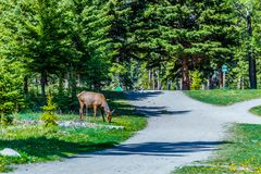 Free A Grazing Elk In Banff National Park Stock Photography - 111893242