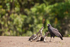 A Great Black-hawk Stock Image