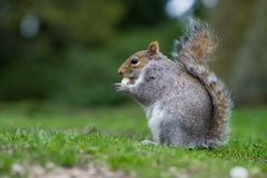 Free A Grey Squirrel Eating A Nut . Stock Images - 139466914