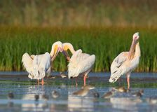 A Group Of Adult White Pelicans And One Young Pelican Rest In The Water. Royalty Free Stock Photography