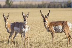 Free A Group Of Antelope In A Field Royalty Free Stock Photo - 103891195