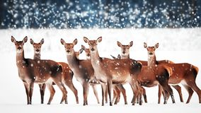 Free A Group Of Beautiful Female Deer In The Snowy White Forest. Noble Deer Cervus Elaphus. Artistic Christmas Winter Image. Winter Royalty Free Stock Photography - 131395097