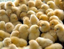 Free A Group Of Chick Royalty Free Stock Images - 7145599