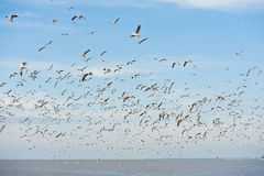A Group Of Common Black-headed Gull Stock Photography