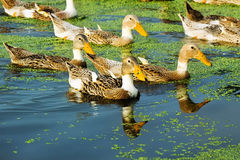 A Group Of Duck Stock Images