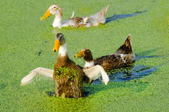 A Group Of Duck Stock Photography