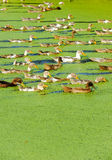 A Group Of Duck Royalty Free Stock Photography