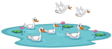 Free A Group Of Ducks At The Pond Royalty Free Stock Photo - 33098635