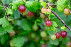 Free A Group Of Multicolor Gooseberry Berries Hanging On A Bush In A Summer Day. Royalty Free Stock Photography - 205361927
