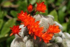 Free A Group Of Pretty Flowering Cactus, Rebutia Lima Naranja. Royalty Free Stock Photos - 184958518