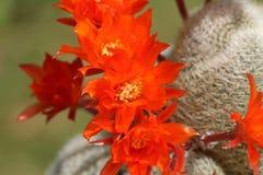 Free A Group Of Pretty Flowering Cactus, Rebutia Lima Naranja. Stock Photo - 185728440