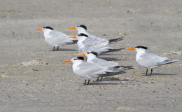 Free A Group Of Royal Terns (Sterna Maxima) Royalty Free Stock Images - 41490409