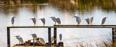 Free A Group Of Snowy Egrets Roosting On Wooden Ledges Is The Marshes Of South San Francisco Bay Area, California Stock Photos - 138660813