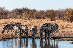 Free A Group Of Zebras In Etosha Royalty Free Stock Photo - 162926375