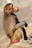 A Hamadryas Baboon Royalty Free Stock Images