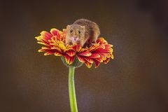 Free A Harvest Mouse Micro-Minutus On Top Of A Flower, Aberdeenshire,Scotland,UK Stock Image - 164686411