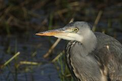 Free A Head Shot Of A Magnificent Hunting Grey Heron, Ardea Cinerea, Standing At The Edge Of A River. Stock Image - 172260081