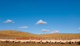 A Heard Of Sheep In Patagonia Stock Photos