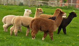 A Herd Of Alpaca Royalty Free Stock Photo