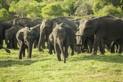 A Herd Of Asian Elephants Stock Photo