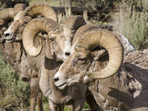 A Herd Of Big Horn Sheep Rams Royalty Free Stock Photography