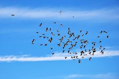 Free A Herd Of Flying Larks In Blue Sky Royalty Free Stock Photo - 160708305