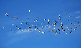 Free A Herd Of Flying Larks In Blue Sky Royalty Free Stock Photos - 160709668
