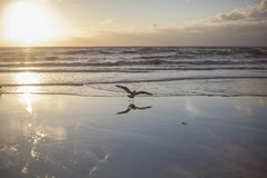 Free A Herring Gull Spreadings Its Wing Royalty Free Stock Photo - 132012715