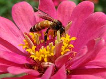 Free A Honey Bee Collecting Nectar Of Flowers Stock Photo - 142124020