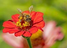 Free A HoneyBee Feeding On A Pink Zinnia. Stock Image - 142461861