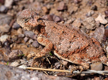 Free A Horned Lizard In The Sun Stock Photo - 88998430