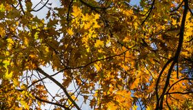 Free A Huge Red Oak Tree Quercus Rubra With Golden Leaves At Sunset Against A Blue Sky. Autumn Motive Royalty Free Stock Photos - 196117498