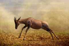 A Jumping Topi Antelope, Masai Mara Stock Photo