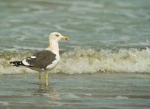 Free A Kelp Gull At The Beach Stock Photo - 18641260